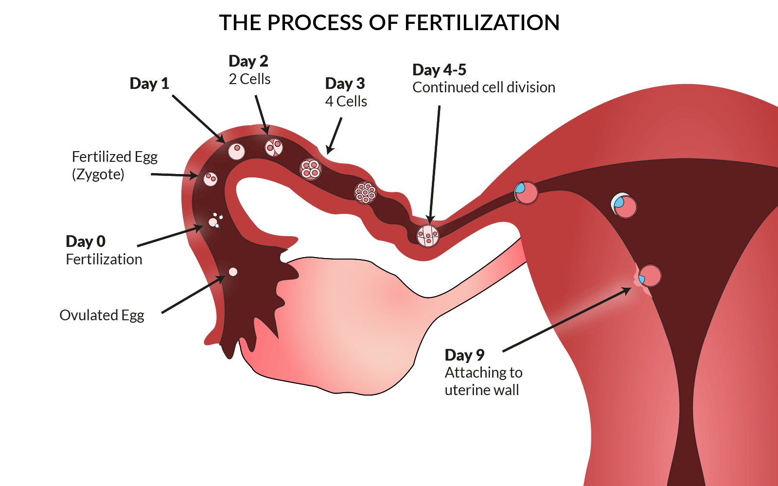 The Process Of Fertilization